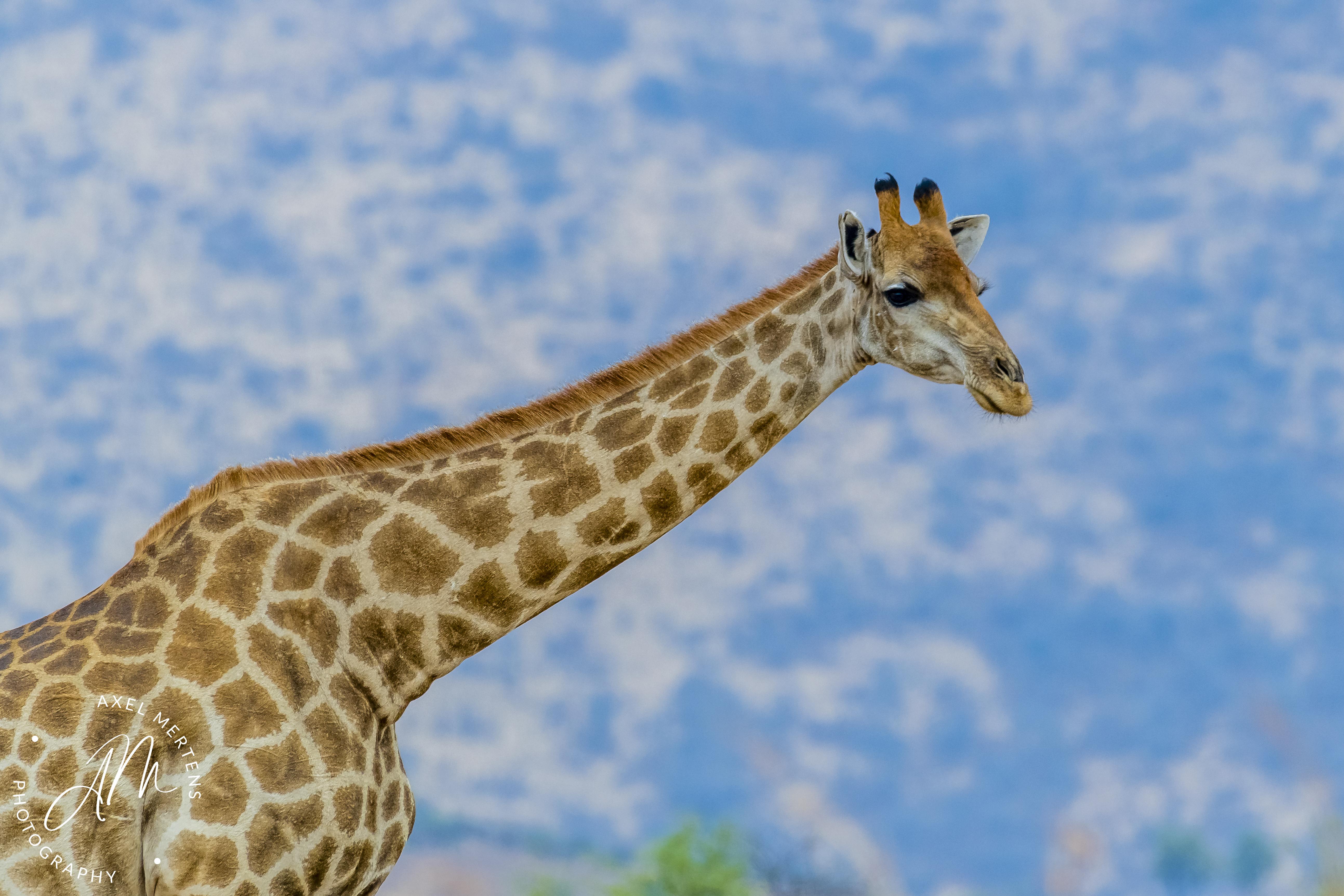 Girafe-1