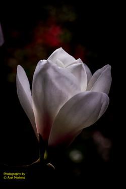 Chinese Tulip