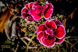 Garden Flowers-22