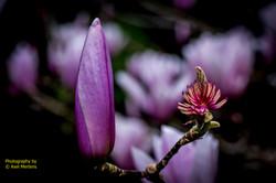 Chinese Tulip Tree