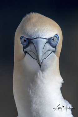 Gannets (1 of 1)