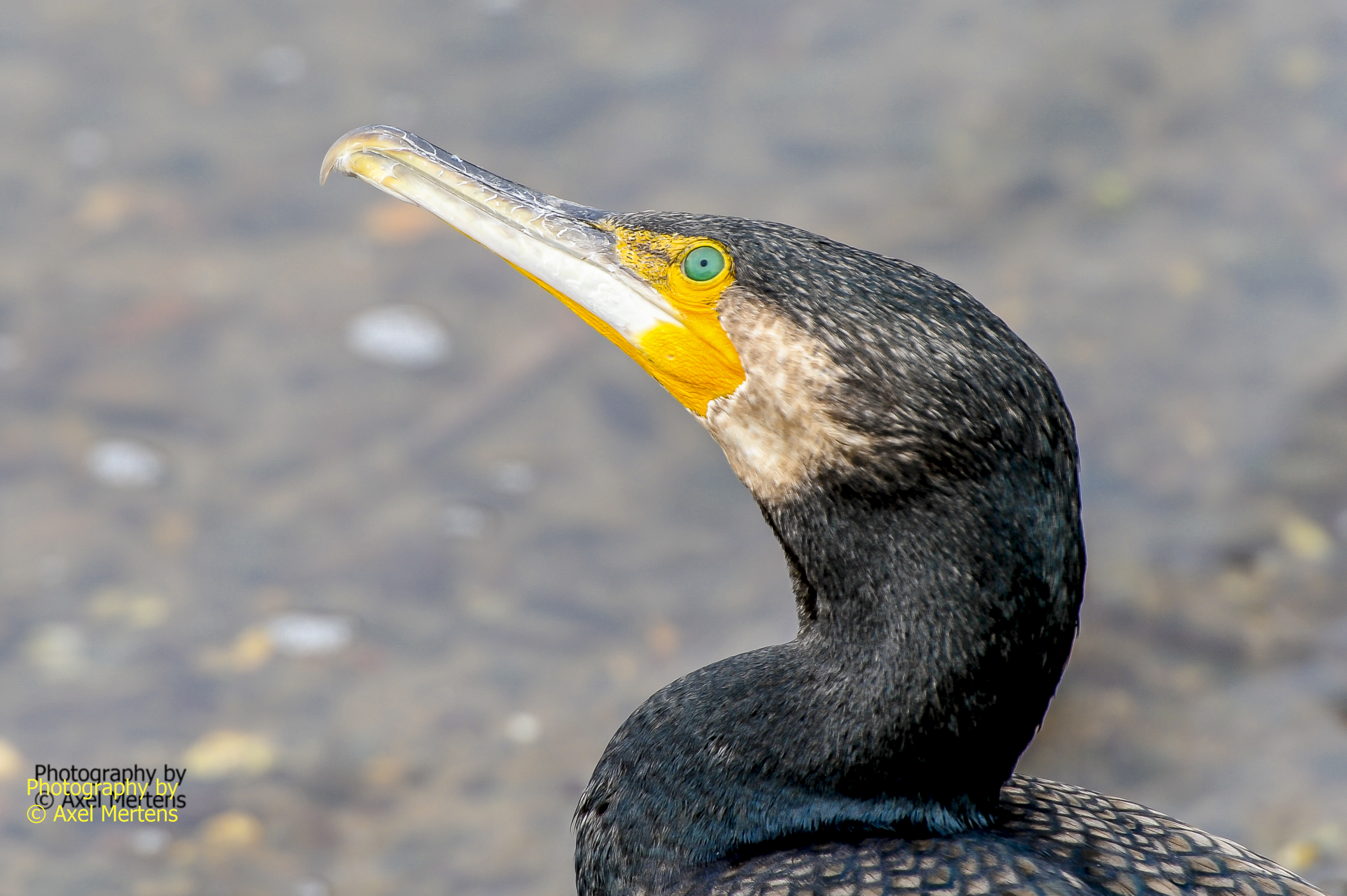 Greater Cormorant.