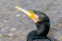 Greater Cormorant.