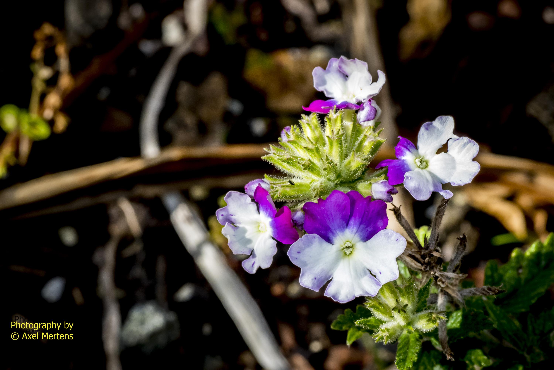 Garden Flowers-21