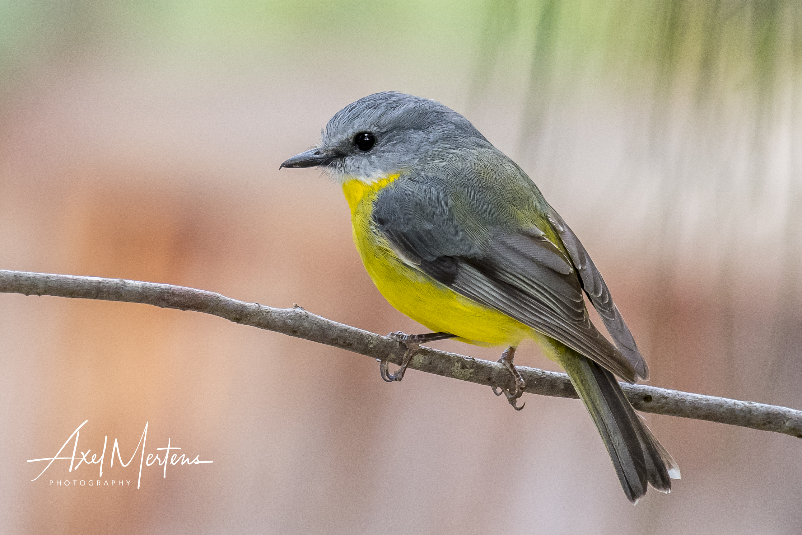 Eatern Yellow Robin (1 of 1)
