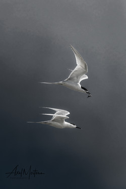 Terns-3 (1)