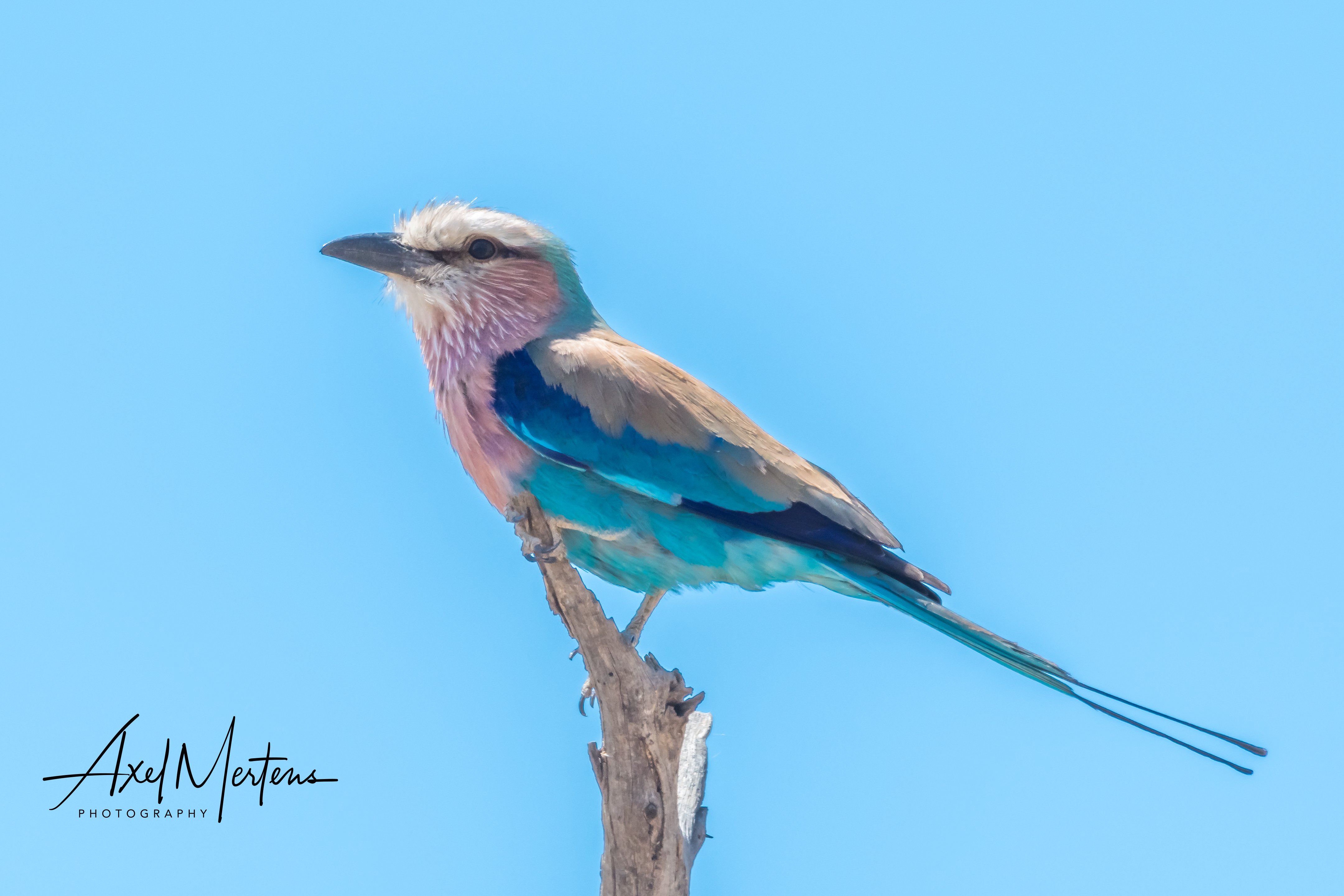 Lilac Breated Roller