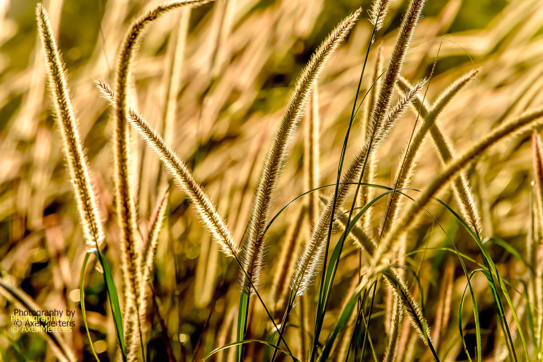 Kaap punt Grass-3