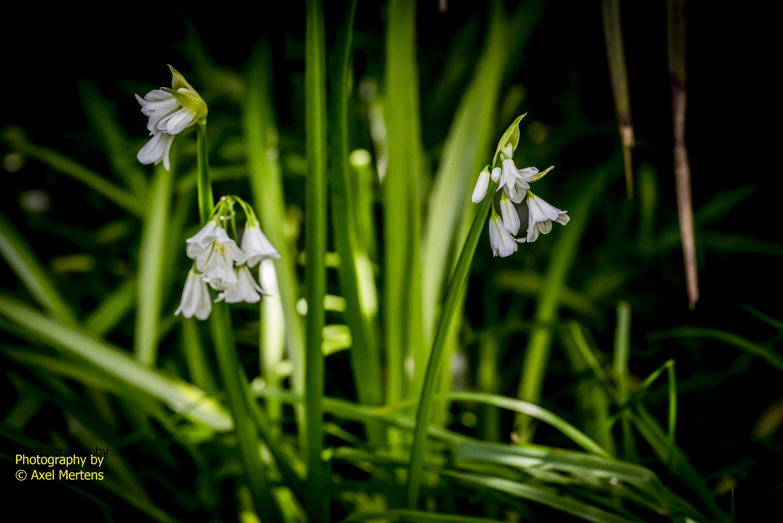 Westie Flowers TT-67