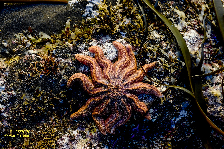 Sea - stars