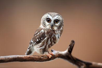 Closeup of a curious Saw-Whet Owl agains