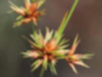 Large-plumed beaksedge (Rhynchospora megaplumosa)