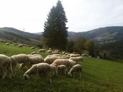 Pecore ai pascoli di Foza: Valpiana