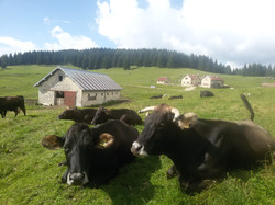 Mucche al pascolo: Malga Mandrielle