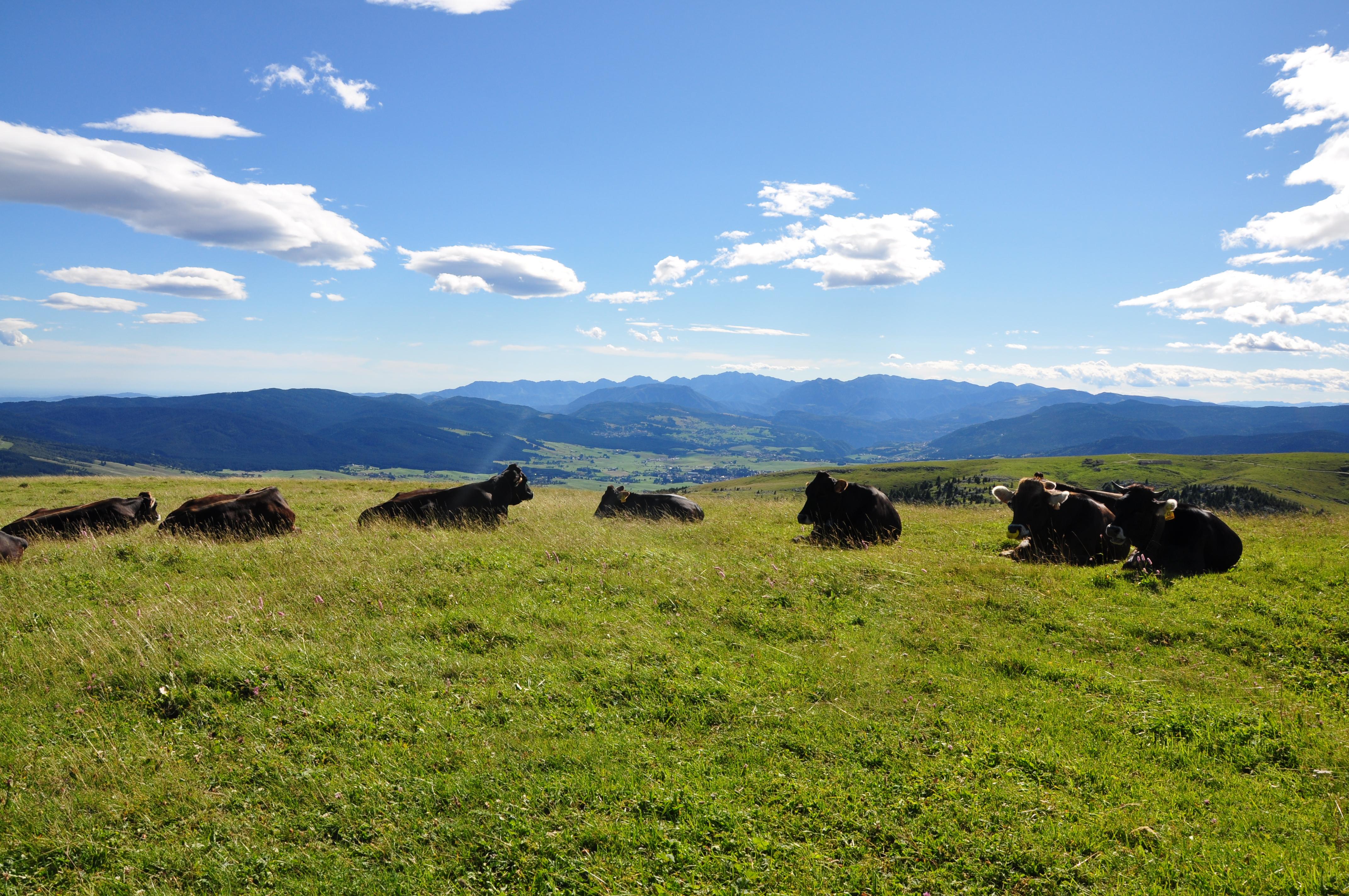 Mucche al pascolo ....riposano