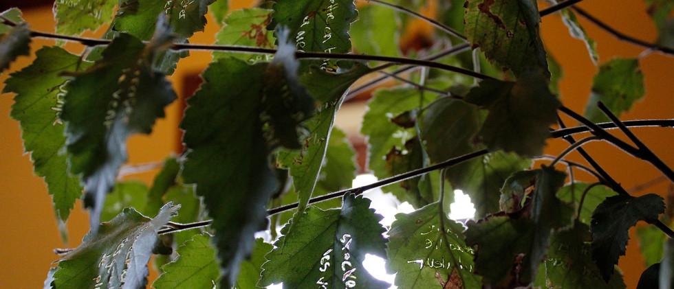 Boulot (betula)