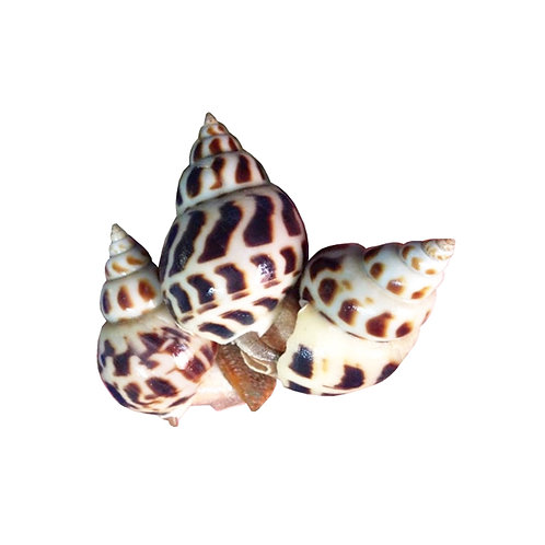 Baby Sea Snail 50-80(Cooked), 2lb