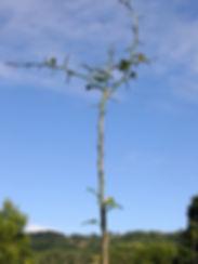 Citrus rootstock