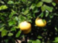Marsh Grapefruit