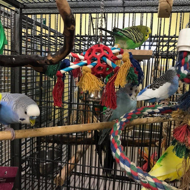 Parakeet flock