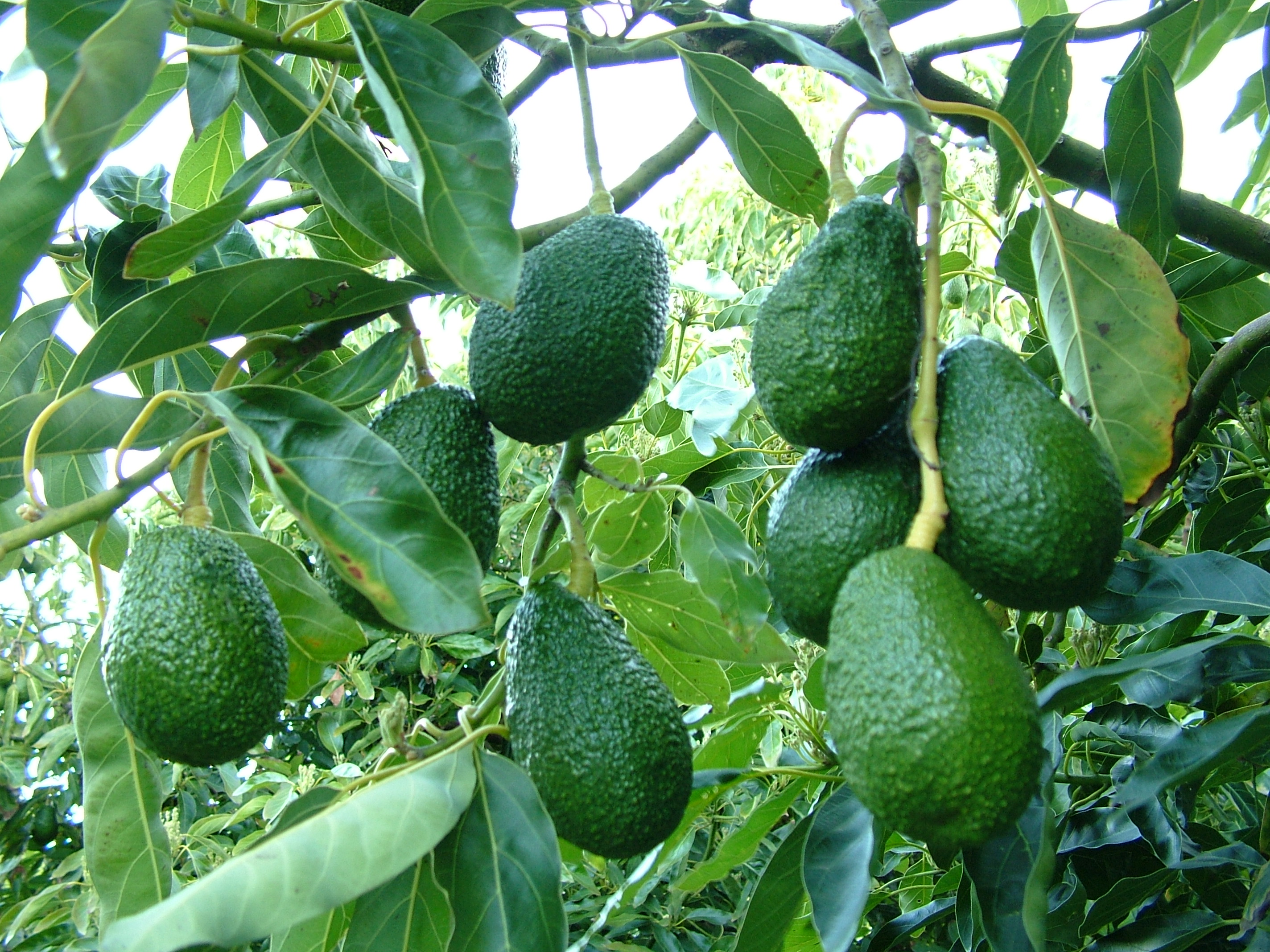 Avocado - Fruit bunch