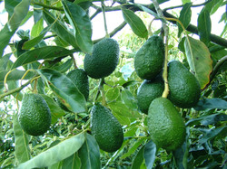 Avocado - Fruit bunch