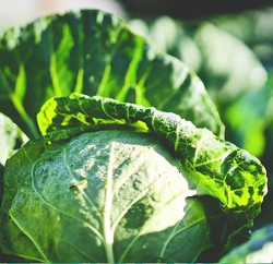 Drovers Rest Organic Cabbage