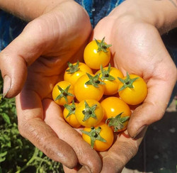 Roly Poly Farms Cherry Tomato