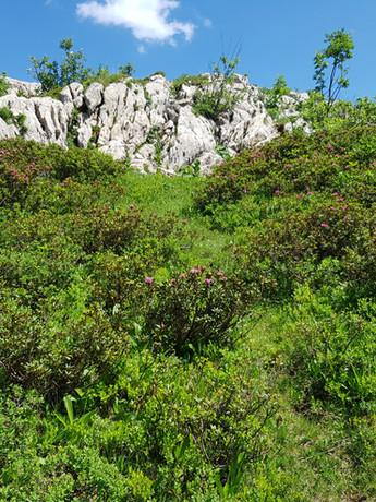 rhododendron sauvage.jpg