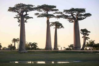 Landscape Madagascar Baobab Avenue