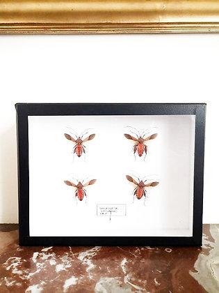 Cadre d'entomologie