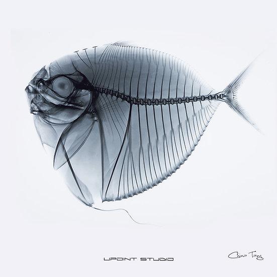 Fish Bone X Ray Drawing 1