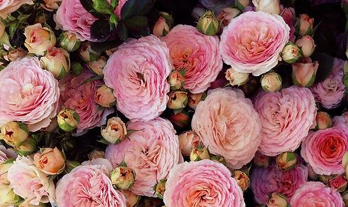 lavolio-roses.jpeg