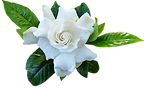 personnalisation de bougie parfum gardénia