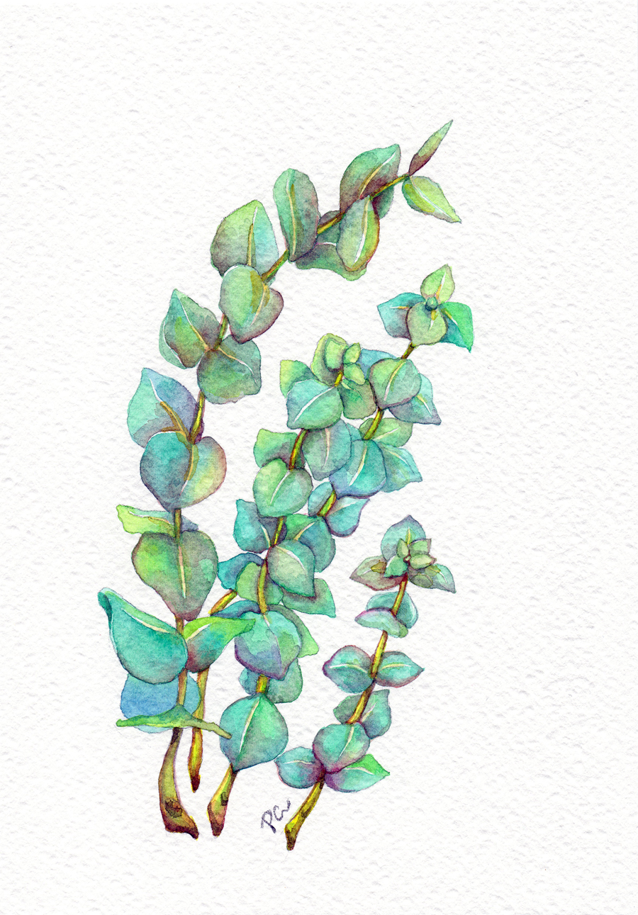 Eucalyptus 02
