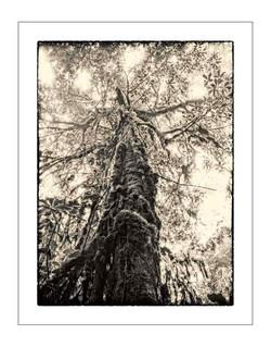 Trees of Kilimanjaro