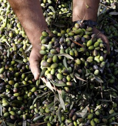 Olive harvest.jpg
