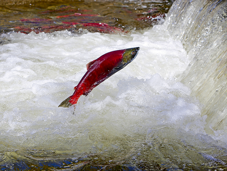 Victory for Sockeye Salmon and Bristol Bay!