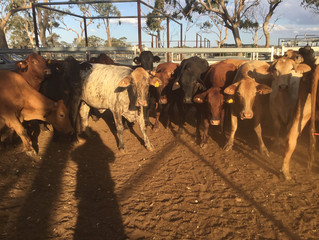 FOR SALE: 24 SANTA BRANGUS COWS