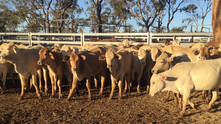FOR SALE: 120 CHARBRAY HEIFERS