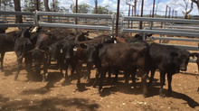 FOR SALE LOT 5: 15 ANGUS/BRANGUS HEIFERS