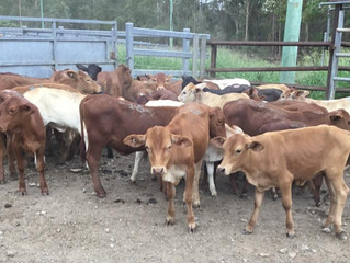 FOR SALE LOT 2: 50 CHARBRAY DROUGHTMASTER ANGUS HEIFERS