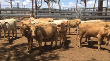 FOR SALE LOT 6: 16 CHARBRAY HEIFERS