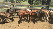 FOR SALE LOT 3: 19 X 19 COWS AND CALVES