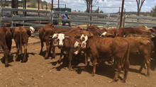 FOR SALE LOT 7: 35 SANTA HEREFORD X HEIFERS