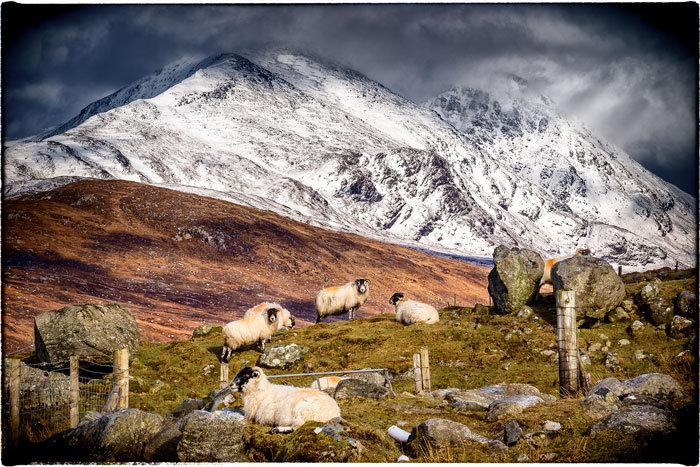 Ardhasaig Winter Sheep