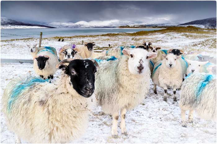 Seilebost Winter Sheep
