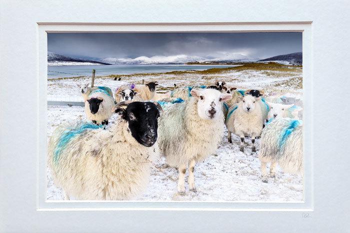 Seilebost Winter Sheep