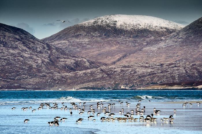 Winter Oystercatchers on Luskentyre