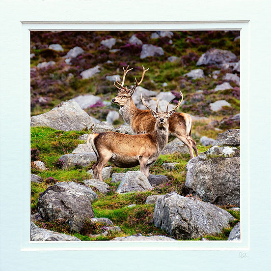 Ardhasaig Mountain Stags